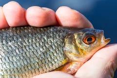 Poissons de Rudd dans la main de pêcheur à la ligne Photo libre de droits
