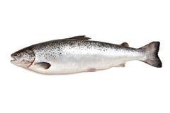 Poissons de saumons atlantiques Images libres de droits