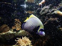 Poissons de scalaire d'empereur sur le récif coralien images libres de droits