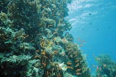 Poissons de Scalefin sur le récif Photos stock