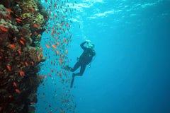 Poissons de Scalefin sur le récif et le photographe Image stock