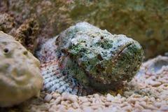Poissons de scorpion dans l'aquarium Images libres de droits