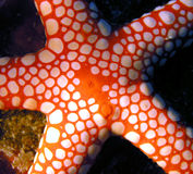 Poissons de Seastar de la Mer Rouge Image libre de droits