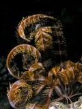 Poissons de Seastar de la Mer Rouge Images libres de droits