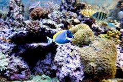 Poissons de Tang de bleu de poudre Photographie stock libre de droits