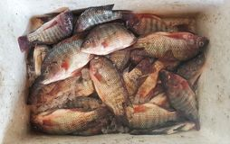 poissons de tilapia dans le boîtier blanc prêt à être vendu photos stock