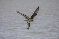 Poissons de transport d'Osprey photos libres de droits