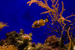 Poissons et corail de clown Photos libres de droits