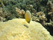 Poissons et corail de guindineau brillamment colorés Image libre de droits