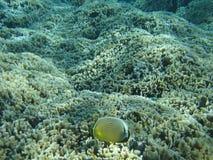 Poissons et corail jaunes Images libres de droits