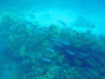 Poissons et coraux en mer Images stock
