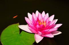 Poissons et fleur et feuilles de lotus roses dans l'étang Photographie stock