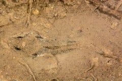 Poissons européens de chabot de rivière (gobio de Cottus) Images stock