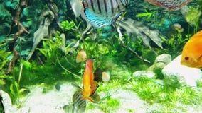 Poissons exotiques avec la coloration lumineuse dans l'aquarium avec des algues sur le fond banque de vidéos