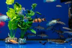 Poissons exotiques colorés dans l'aquarium Photo libre de droits