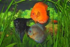 Poissons exotiques d'aquarium - disque et scalare Photographie stock