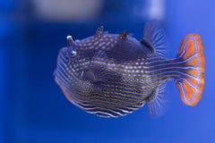 Poissons exotiques dans l'aquarium Images libres de droits