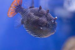 Poissons exotiques dans l'aquarium Photo libre de droits