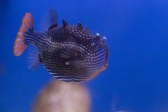 Poissons exotiques dans l'aquarium Photographie stock