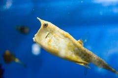 Poissons exotiques dans l'aquarium Photos libres de droits