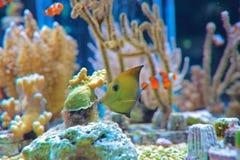 Poissons exotiques dans l'aquarium Image stock