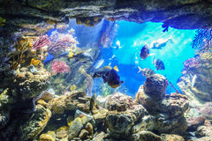 Poissons exotiques dans l'aquarium marin Photos stock