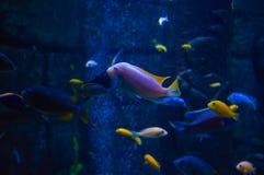 Poissons exotiques dans un aquarium Photographie stock libre de droits