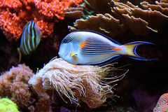 Poissons exotiques dans un aquarium marin coloré Image stock