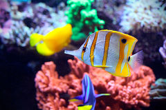 Poissons exotiques dans un aquarium marin coloré Photo libre de droits