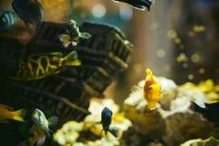 Poissons exotiques de cichlid d'aquarium troupeau de la natation jaune-orange de poissons de mer dans l'aquarium Image libre de droits