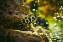 Poissons exotiques de cichlid d'aquarium troupeau de la natation jaune-orange de poissons de mer dans l'aquarium Images libres de droits