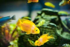 Poissons exotiques de cichlid d'aquarium troupeau de la natation jaune-orange de poissons de mer dans l'aquarium Images stock
