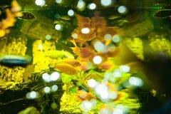Poissons exotiques de cichlid d'aquarium troupeau de la natation jaune-orange de poissons de mer dans l'aquarium Photo stock