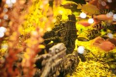 Poissons exotiques de cichlid d'aquarium troupeau de la natation jaune-orange de poissons de mer dans l'aquarium Photographie stock