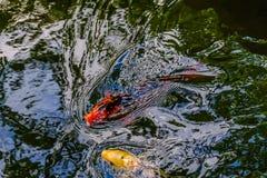 Poissons exotiques de koi dans l'étang photos stock