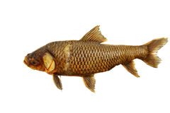 Poissons fossiles Images stock