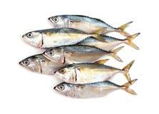Poissons frais de maquereau d'isolement sur le fond blanc Maquereau d'isolement sur le blanc maquereau d'isolement par poissons photos stock