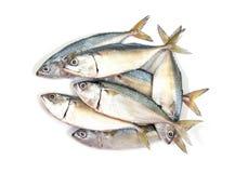 Poissons frais de maquereau d'isolement sur le fond blanc Maquereau d'isolement sur le blanc maquereau d'isolement par poissons image stock