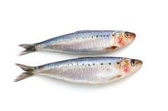 Poissons frais de sardine Photos stock
