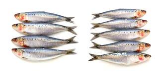 Poissons frais de sardine Image libre de droits