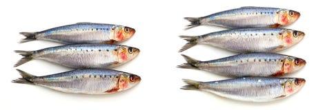 Poissons frais de sardine Photographie stock libre de droits