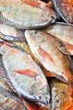 Poissons frais de Tilapia ou d'Oreochromis Photo libre de droits