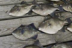 Poissons gris de déclenchement pêchés par des pêcheurs de sport Image libre de droits