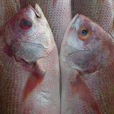 Poissons idylliques de rose de mer de couples les beaux touchent doucement leurs ventres, museaux entre eux, comme une image reto Image stock