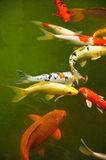 Poissons japonais de Koi Photo stock