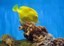 Poissons jaunes d'aquarium Image stock