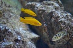 Poissons jaunes dans l'aquarium Photo stock