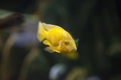 Poissons jaunes dans l'aquarium Photographie stock