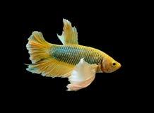 Poissons jaunes de betta, poissons de combat, poissons de combat siamois d'isolement sur le fond noir, chemin de coupure inclus Photo stock