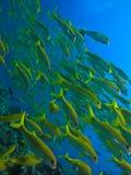 Poissons jaunes de chirurgien d'arrière au récif de barrière grand Photo stock